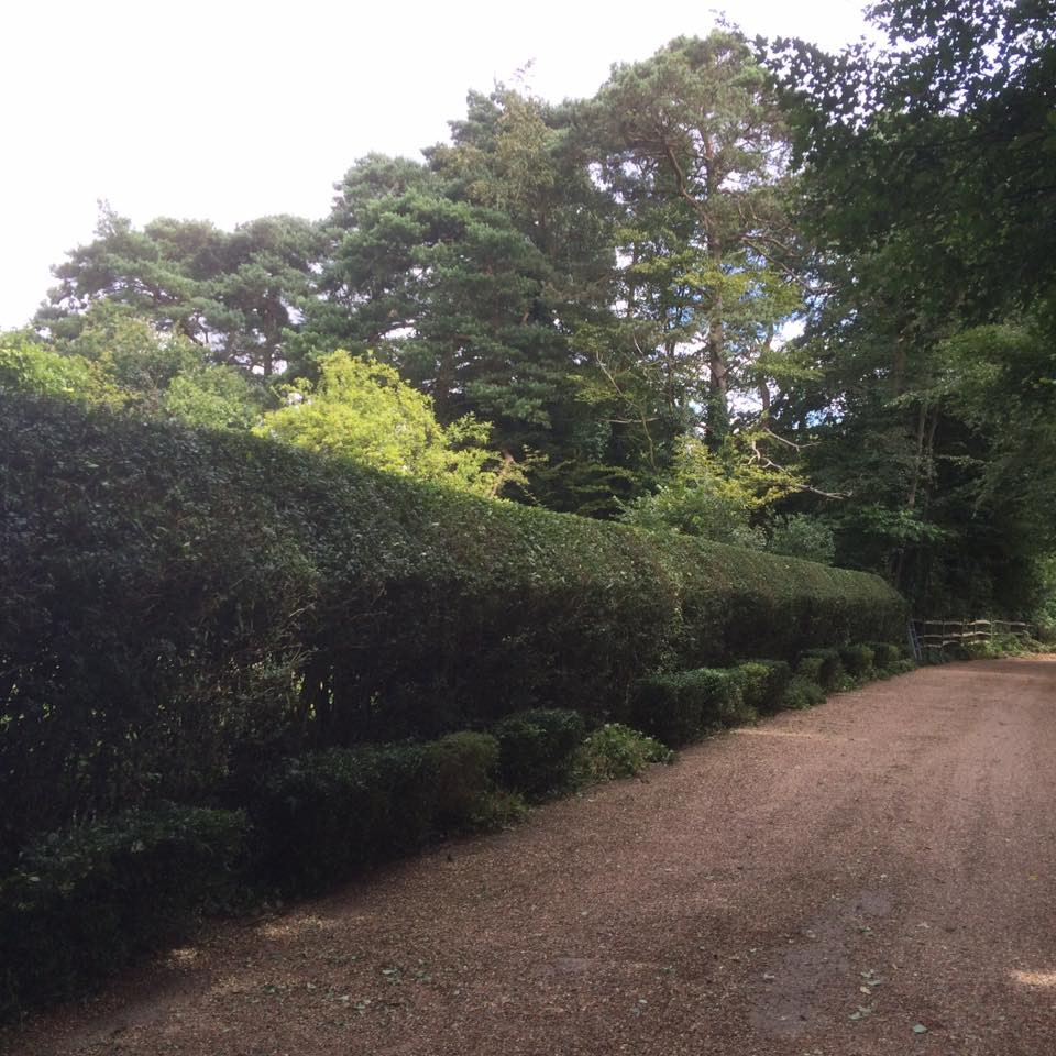 Privet Hedge Shaping.jpg