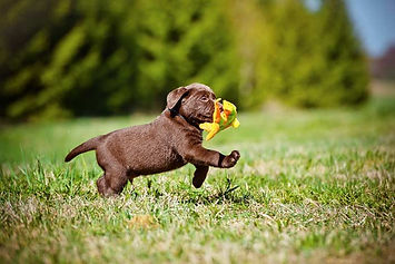 A puppy running with a toy