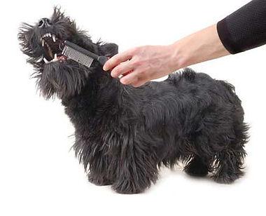 Scottie dog biting a comb