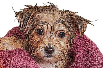 A wet puppy that has just had a bath, wrapped in a towel