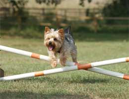 A Yorkshire terrier jumping over a hurdle