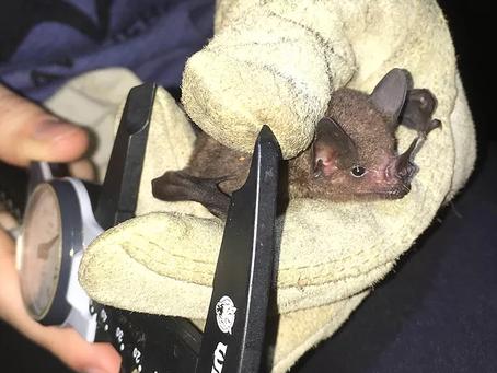Vampire Academy: Bats of Panama