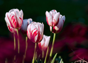 Greed is good? The story of the tulip mania