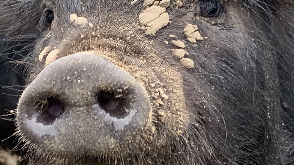 piglet with mud