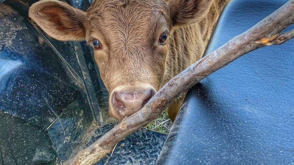 Boaz the bull