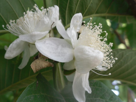 The Mother's Flower Guava