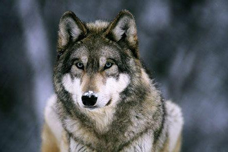 How Can We Call Upon Wolf?