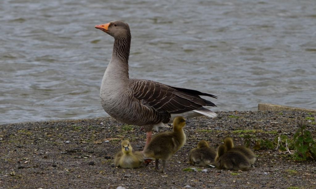 Greylag Goose and chicks