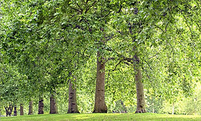 Tree Lined Park