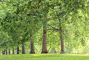 Tree Park Lined