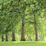 עצים בוגרים