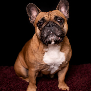 Ralph - French Bulldog