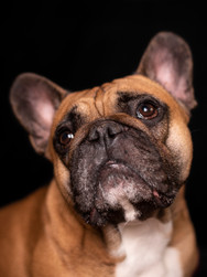 Ralph - French Bulldog