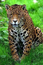 JungleJaguar.jpg