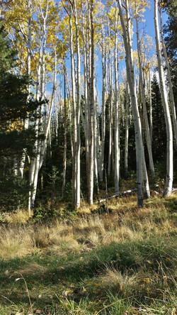 Lockett Meadow Aspen Trees