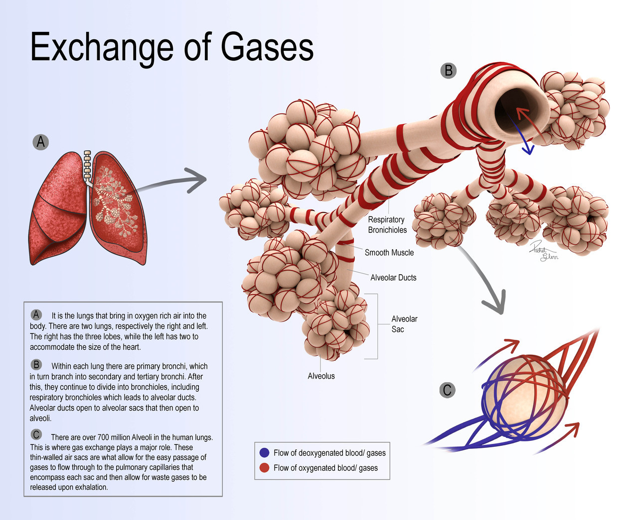 Exchange of Gases