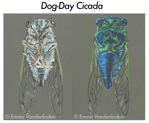 Dog-Day Cicada