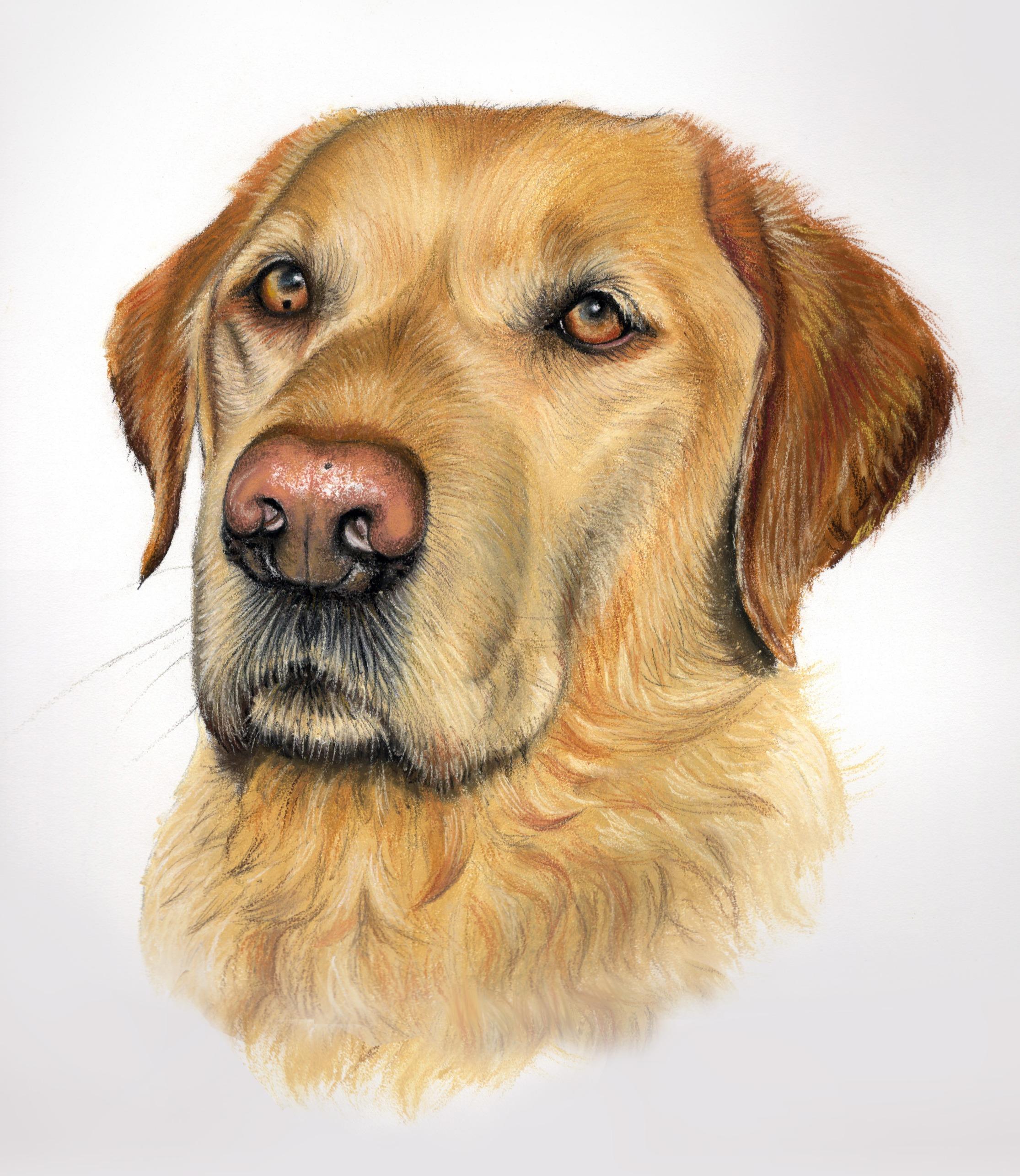 Pastel labrador portrait