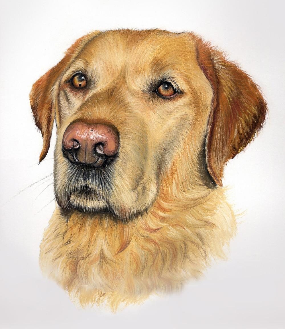 labrador pet portrait in pastel uk
