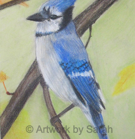 Songbird Collection #6: Blue Jay
