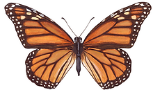 Monarch Pic.png