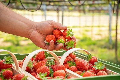 Erdbeeren in Hand