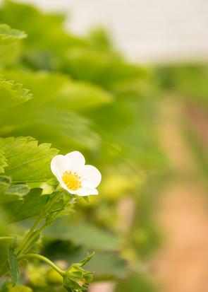 Erdbeerblüte