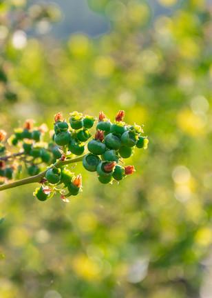 unreife Heidelbeeren