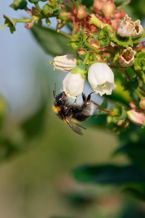 Biene auf Heidelbeerblüte