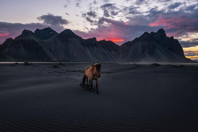 Eines von vielen Islandpferden am Vestra