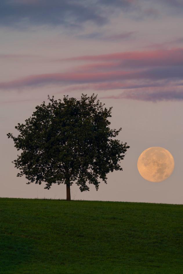 Spektakulärer Monduntergang neben einem kleinen Baum