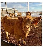 breault cute cow.jpg