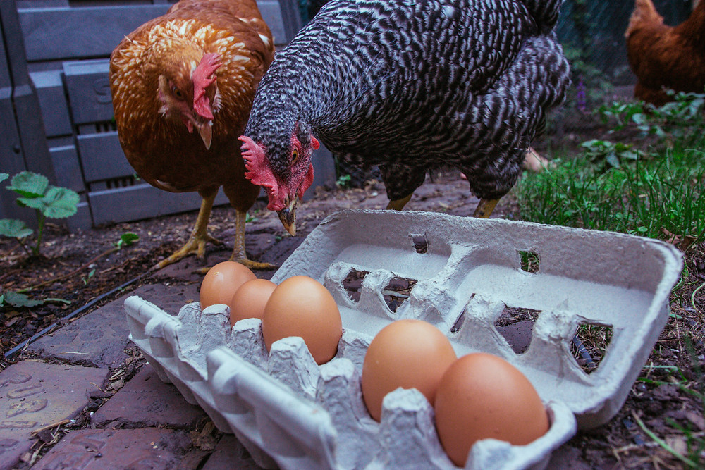 Actual Eight-Bot Chicago chickens inspecting their eggs