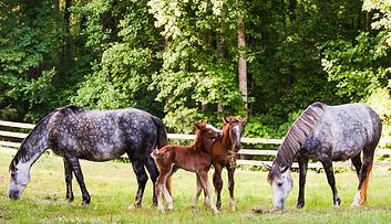 Xmas Horses colts.png