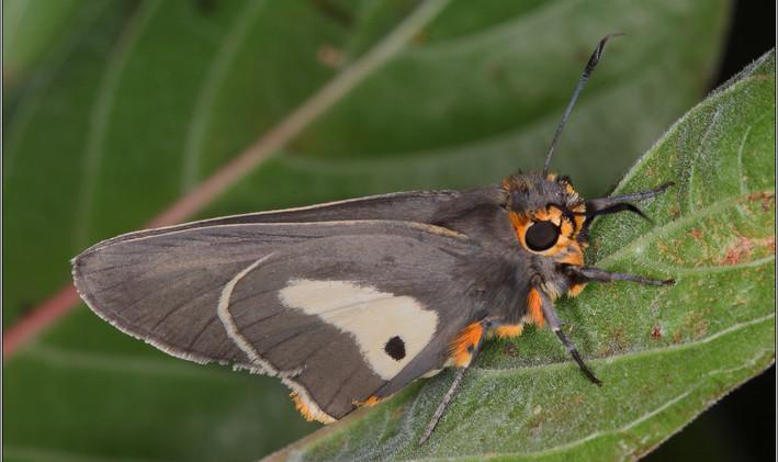 One-pip Policeman Butterfly (Male) - Sybil Baldwin