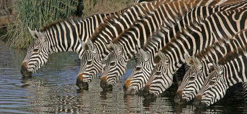 Zebra Lineup