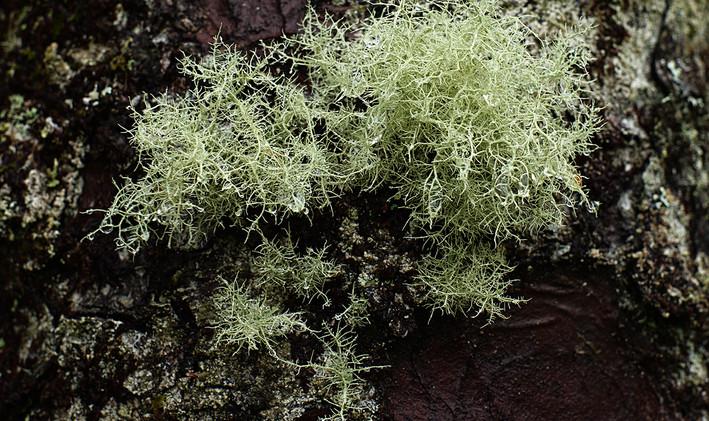 Lichen - David Fiddes