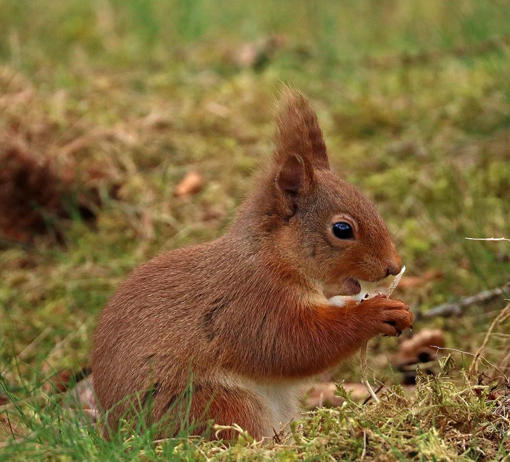 Red Squirrel - Sybil Baldwin