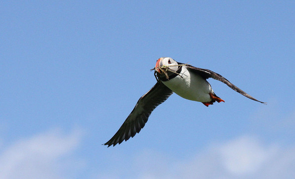 Bing Puffin With Nesting Material