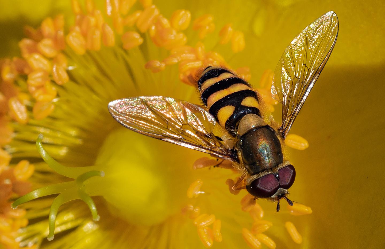 Hoverfly - David Lawson