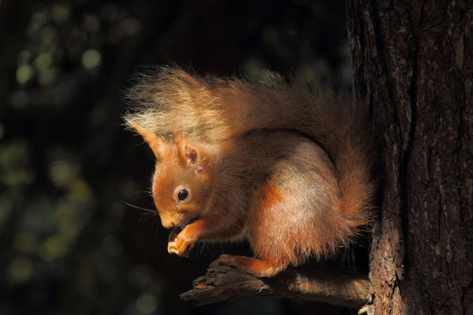 Red Squirrel in Dappled Light