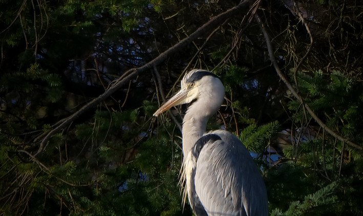 Heron at Roost - Andy Daw