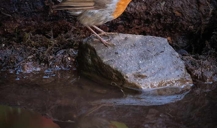 Robin by the Pond - Andy Daw