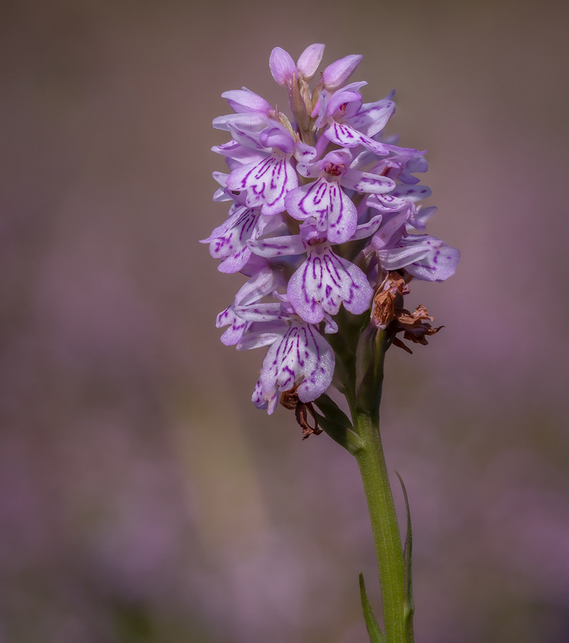 Common Spotted Orchid - Andrew Daw