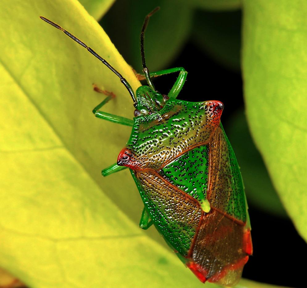 Hawthorn Sheild Bug - Sybil Baldwin