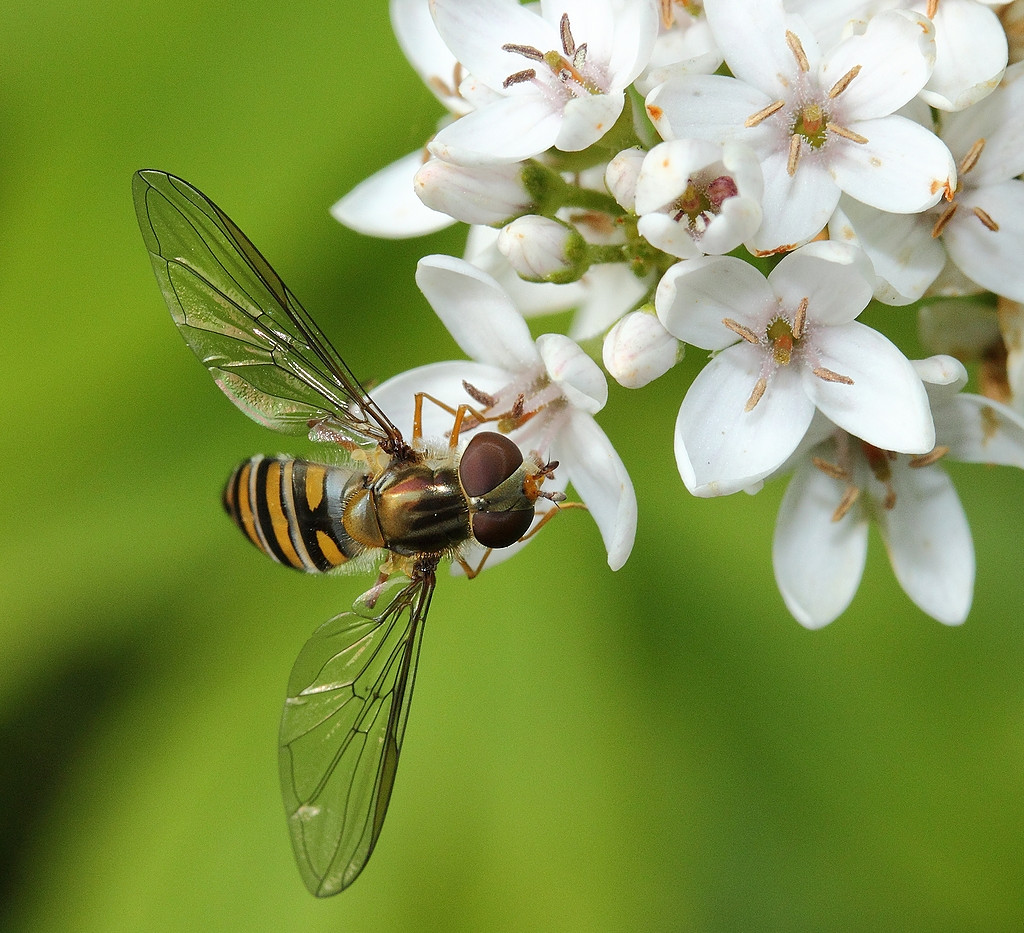 34.A 15.- Hoverfly  - 016.JPG