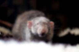 A rat smiling at th camera