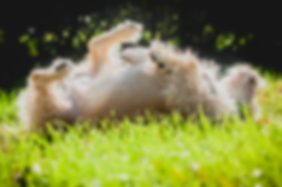A wire haired dog rolling in grass