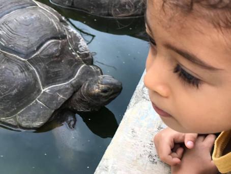 Giant Tortoise!