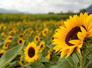 sunflower-sunflowers-field-flowers-bees-